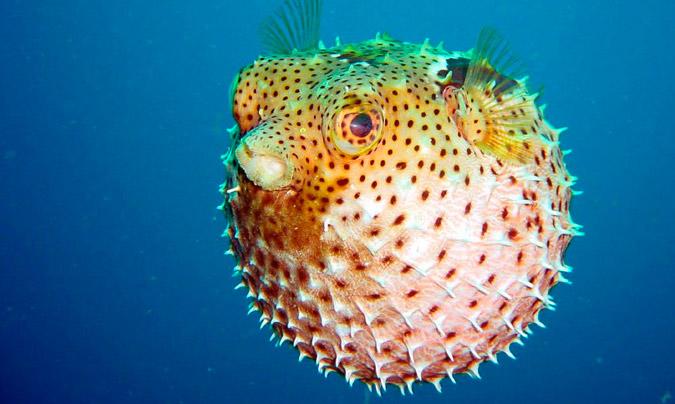 El 'fugu' japonés o pez globo (cuyo consumo está prohibido en Europa), es tan venenoso que el más pequeño error en su preparación podría ser fatal.