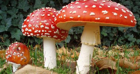 Los hongos superiores (macromicetos), otro ejemplo de toxicidad natural en los alimentos