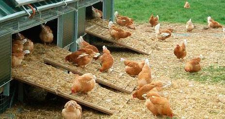 Las buenas prácticas en el bienestar animal y su relación con la calidad final de la carne